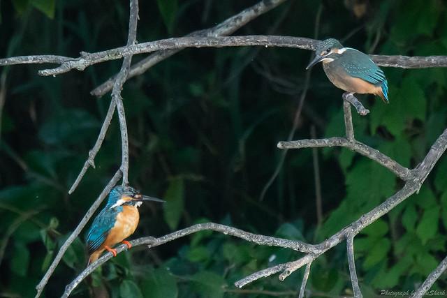 20180714-kingfisher-DSC_6080