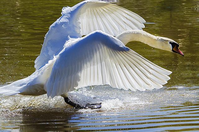 Angel Wings, Nikon D7000, AF VR Zoom-Nikkor 80-400mm f/4.5-5.6D ED