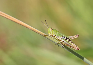 Meadow Grasshopper - Michael Bird