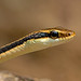 Dendrelaphis pictus - the Painted Bronzeback by BugsAlive