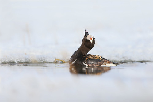 Harelde kakawi / long-tailed duck courtship