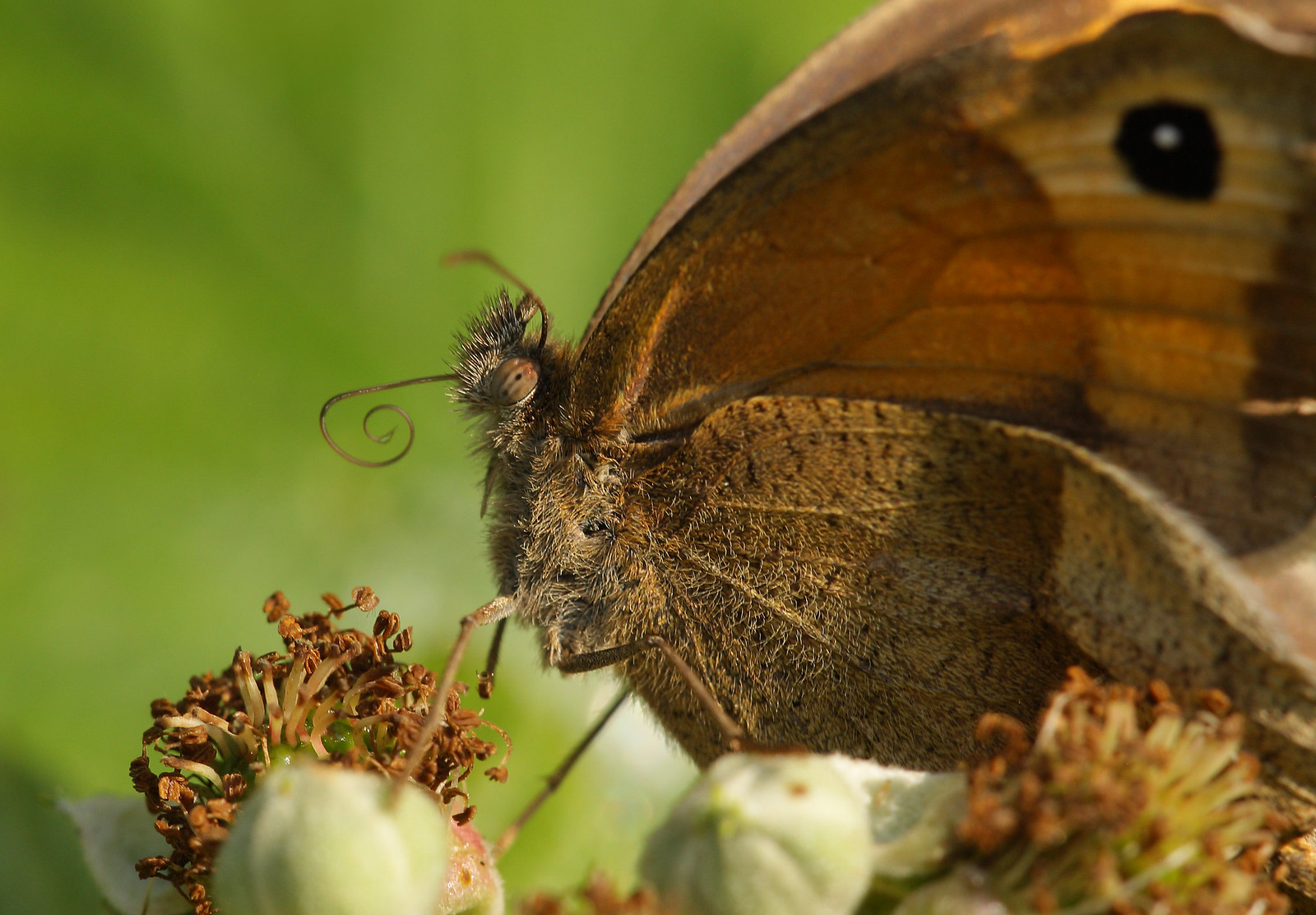 Meadow Brown Close-up