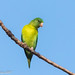 Orange-chinned Parakeet (Brotogeris jugularis) by David A Jahn