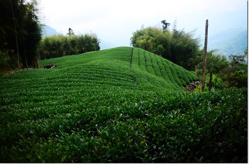 瑞太古道茶園 2