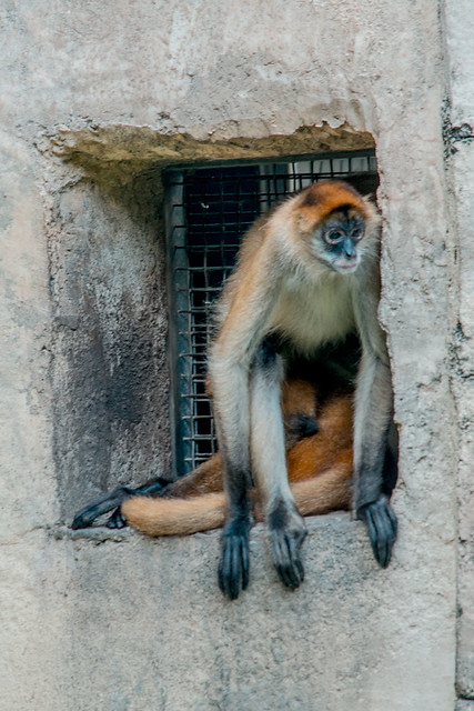 Spider Monkeys in the window, jockeying for position