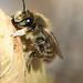 Megachile maritima (m)
