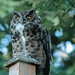 Great Horned Owl - Backyard by Photos_By George