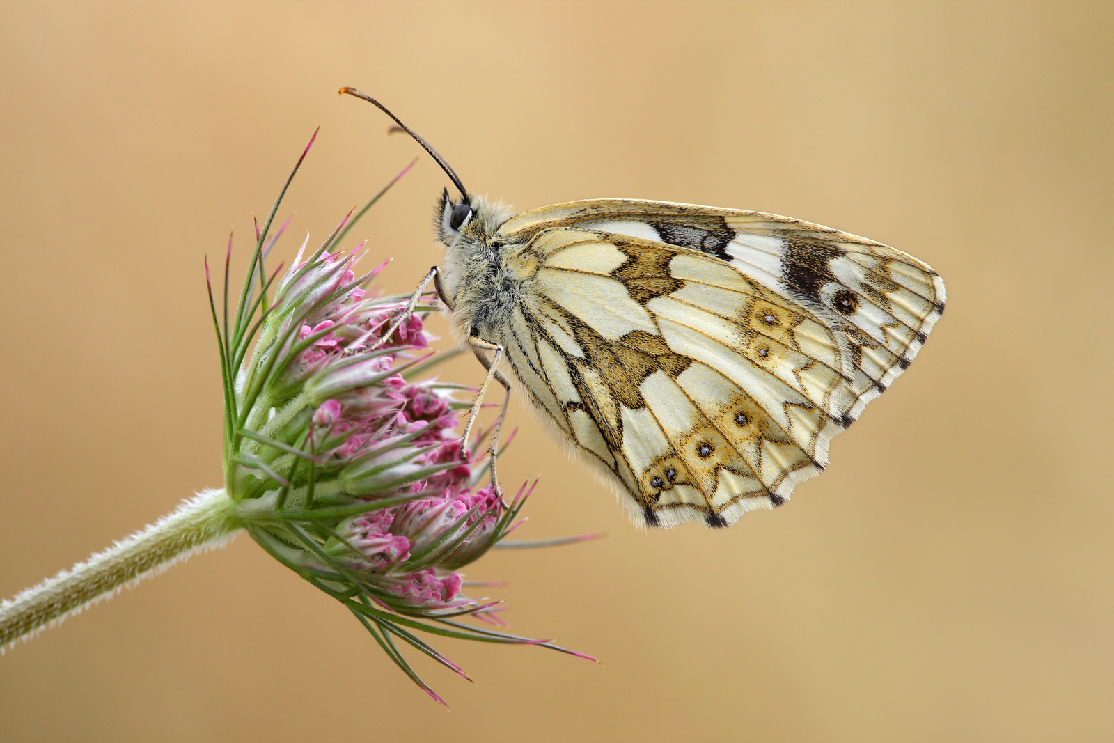 Female Marbled White on Wild Carrot