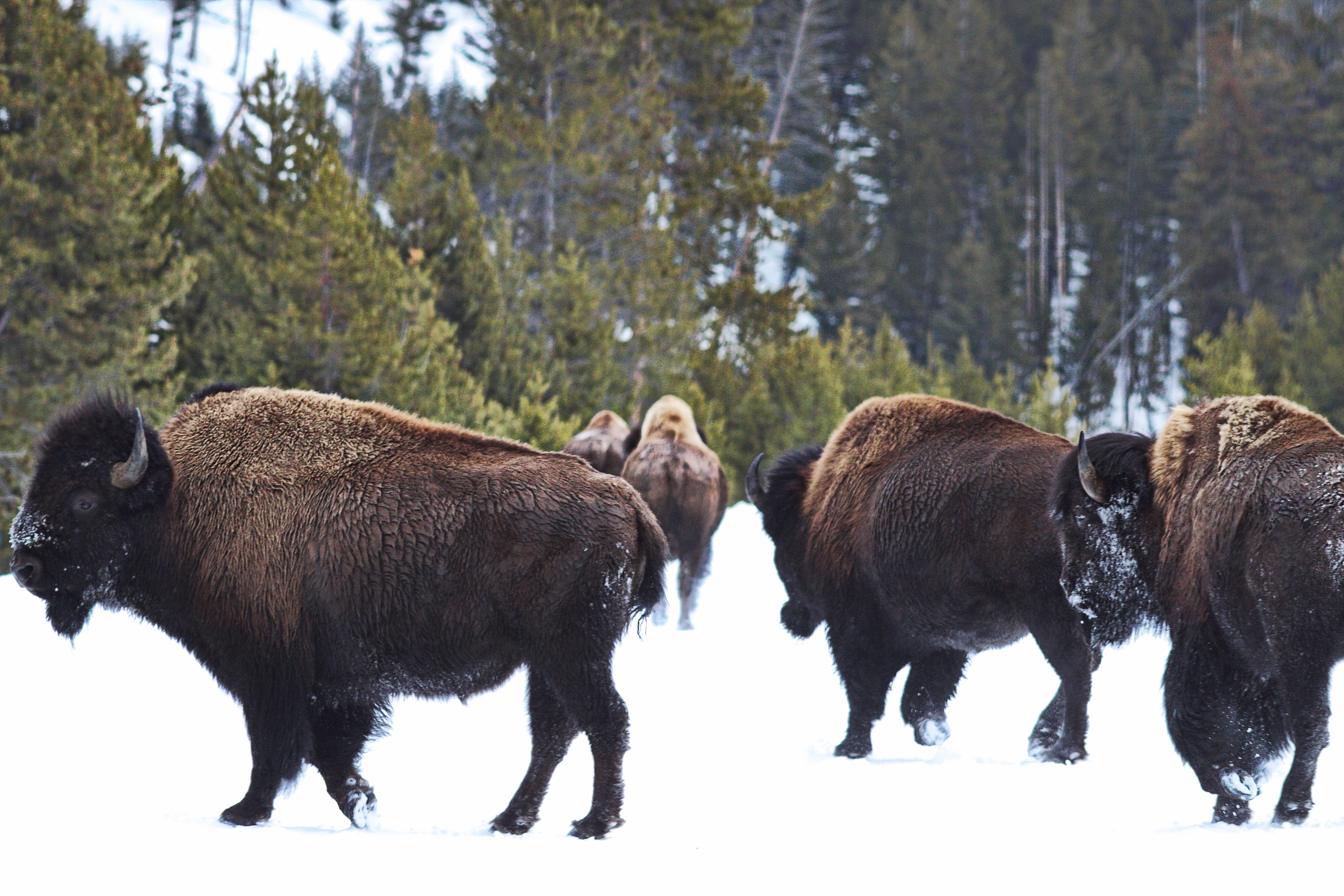 The American bison (Bison bison) is Wyoming's state mammal. Herd in Yellowstone National Park photographed on February 24, 2014.