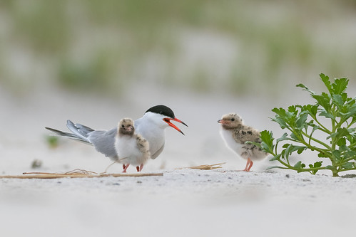 Tern with Chicks