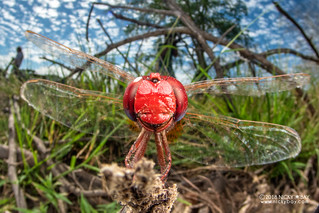 Dragonfly (Crocothemis erythraea) - DSC_4504