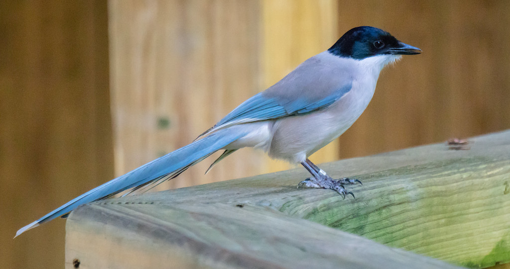 Azure Winged Magpie_7