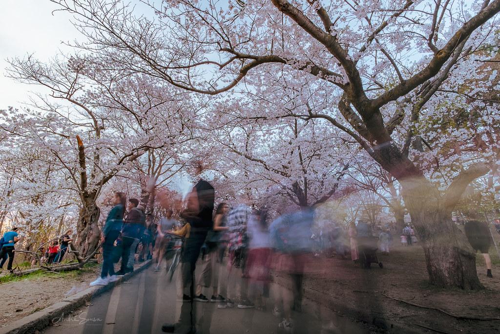 High Park Blossom