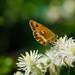 Gatekeeper butterfly, old man's beard flower