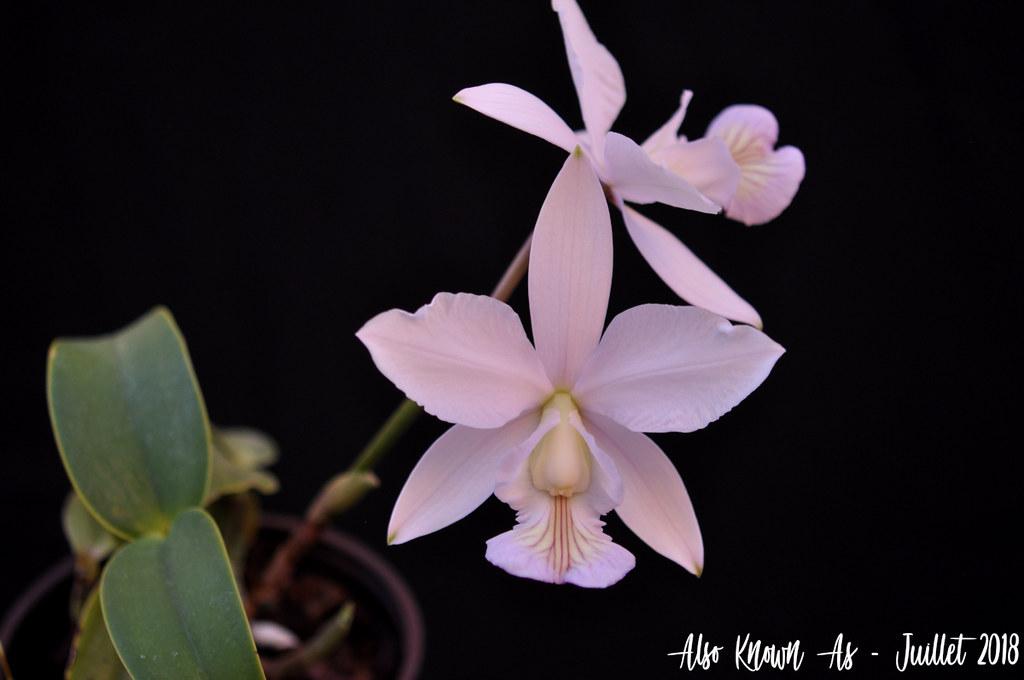 Cattleya nobilior f. amaliae 43423176931_7af57c52f9_b