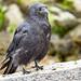 Crow_7190148