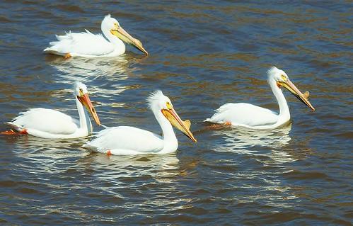 Mississippi River Pelicans