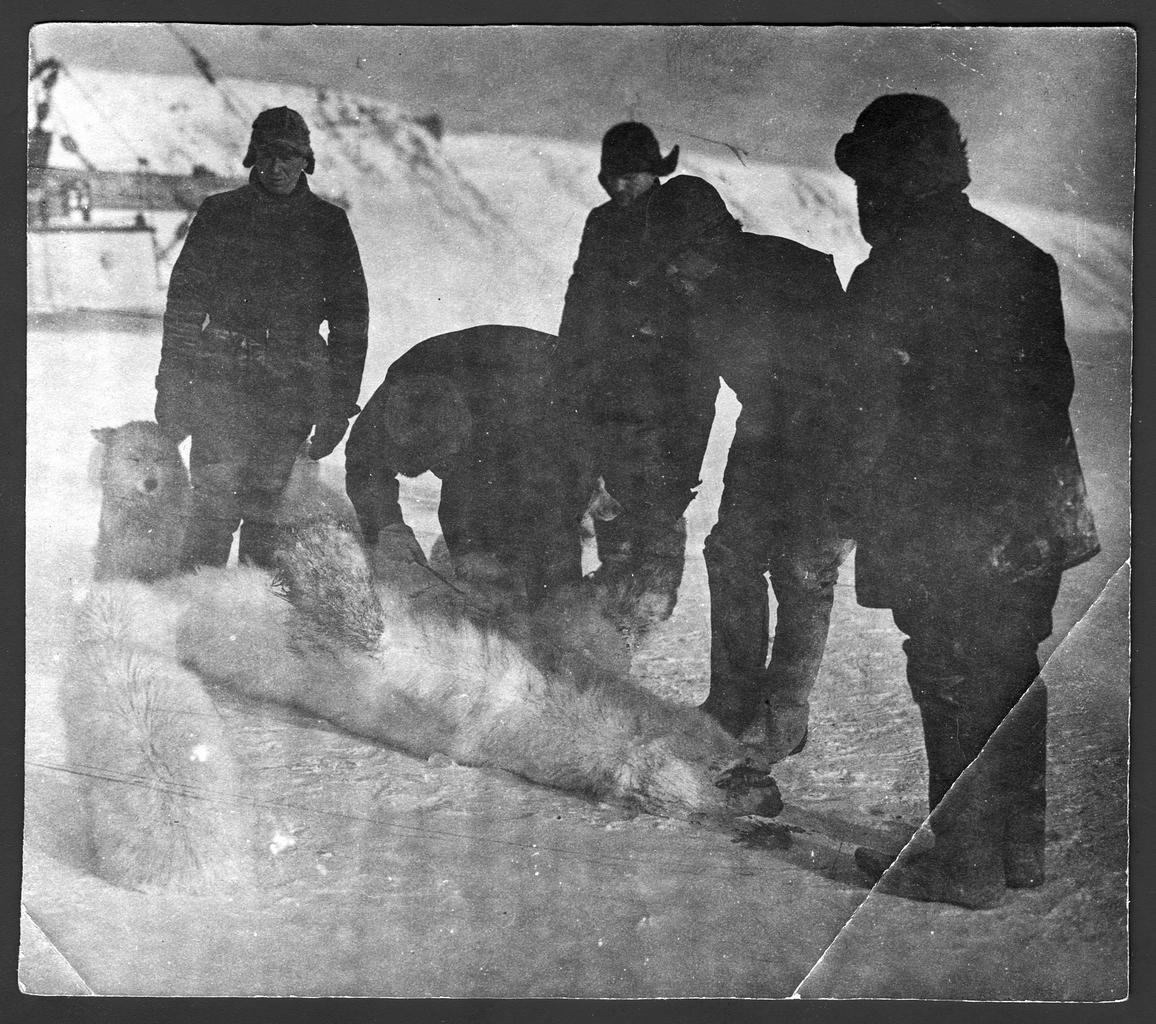 Участники экспедиции Седова Г. Я. с собаками и убитым белым медведем