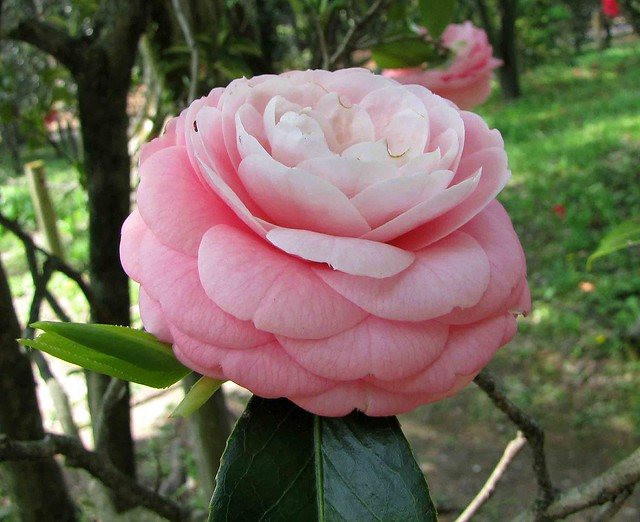 Photo:山茶花-重瓣玫瑰型 Camellia japonica Double Rose Form   [日本京都植物園 Kyoto Botanical Garden, Japan] By 阿橋花譜 KHQ Flower Guide