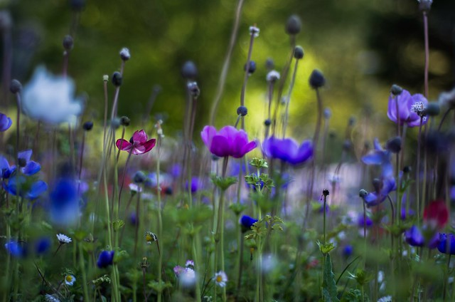 Field of Anemone