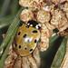 Eyed Ladybird