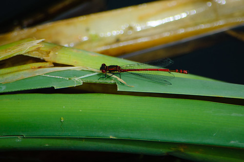 Flying visit: large red damselfly