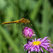 Dragonfly Macro Nikon 60mm by Michael Mckinney (Find my Twitter @MMckinneypho