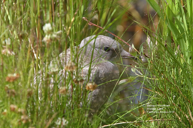 Mew Gull Chick_4H4A0004