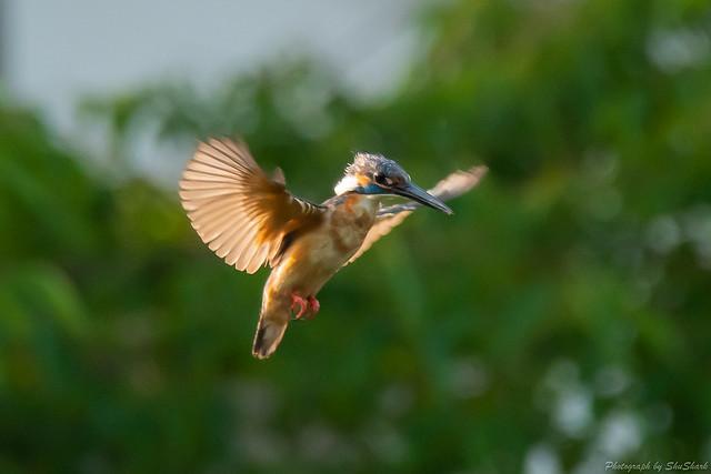 20180714-kingfisher-DSC_6380