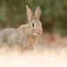 Wild Rabbit bunny by Wouter's Wildlife Photography
