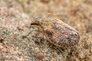 Planthopper (Issidae) - DSC_5820