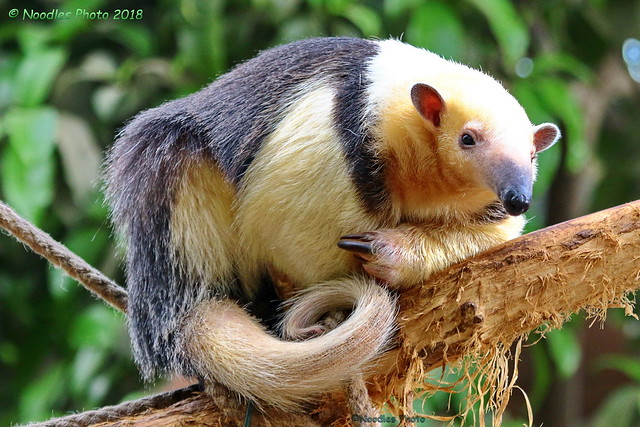 Tamandua (in explore 21.04.2018)