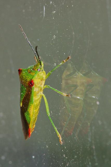Birch Shieldbug Admiring Its Reflections