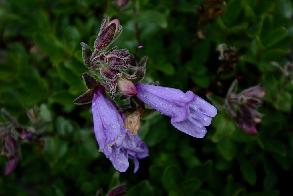 Shrubby Penstemon