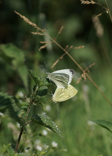 Pieris napi (Green-veined White), Sony SLT-A77V, Tamron SP AF 90mm F2.8 Di Macro