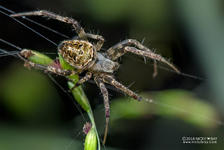 Orb weaver spider (Neoscona sp.) - DSC_5541