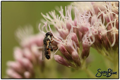 Hoverfly on Hemp Agrimony