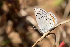 DSC_5890.jpg Acmon Blue butterfly, UCSC Arboretum