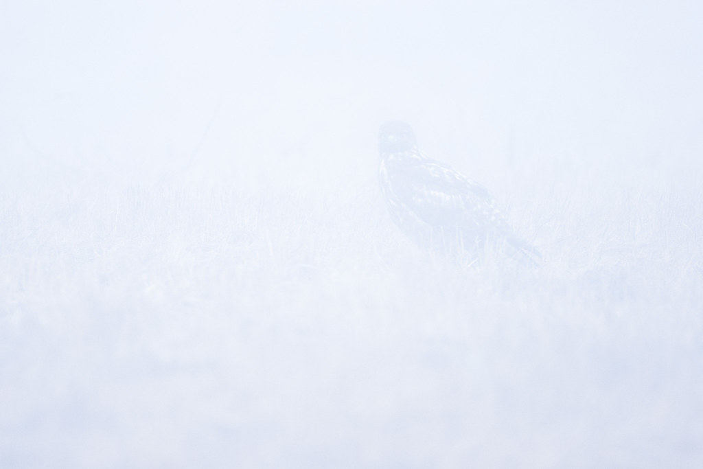 A juvenile red-tailed hawk sits in a meadow in heavy fog at Ridgefield National Wildlife Refuge in Washington