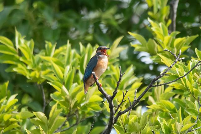 20180630-kingfisher-DSC_5458