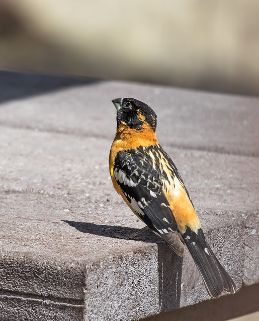 Black-headed-Grosbeak-1-7D2-050918