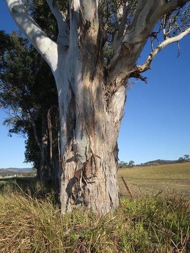 Eucalyptus glaucina trunk NC5