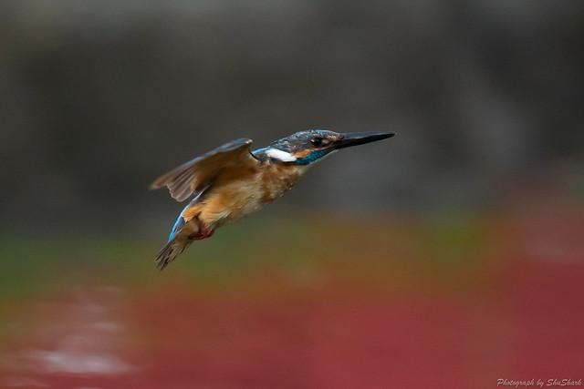 20180713-kingfisher-DSC_5983
