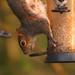 7 Squirrel