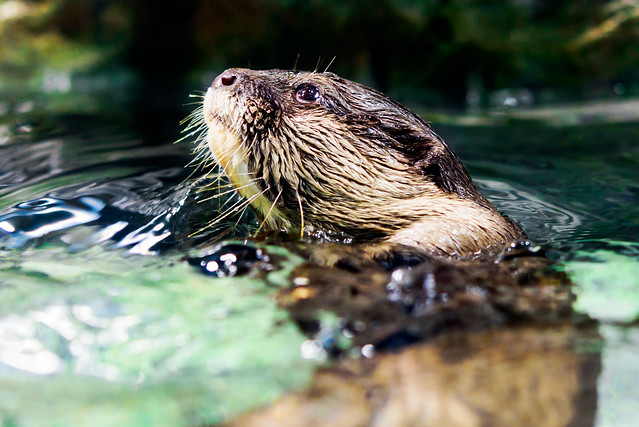 Asian Small-clawed Otter Aonyx, Nikon D750, AF-S Micro Nikkor 60mm f/2.8G ED