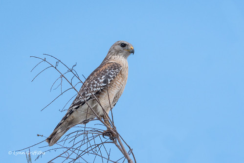 Red-shouldered Hawk 500_8154.jpg