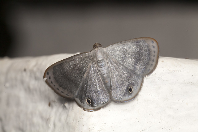 _MG_0305 Tasta sp. geometrid moth