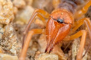 Wind scorpion (Solifugae) - DSC_4913