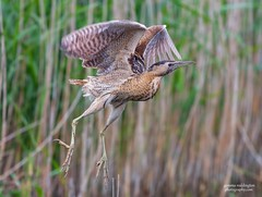 Bittern take off