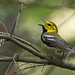 Paruline à gorge noire // Black-throated green Warbler by Keztik
